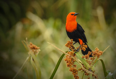 Amblyramphus holosericeus (Aisse Gaertner) Tags: amblyramphusholosericeus birdwatching bird brazil birdwatcher blinkagain nikon ngc p900 coolpix