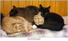 Warming Finn's Head (Sherwood Harrington) Tags: pets cats guinness sableburmese finn orange ginger tabby luna tuxedocat