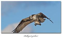 Balbuzard pcheur / Osprey B 153A3946 (salmo52) Tags: oiseaux birds salmo52 alaincharette rapace balbuzardpcheur osprey birdsofprey stsimondebonaventure pandionhaliaetus