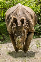 DSC_1795 ts (Photos by Kathy) Tags: cincinnatizoo animals zoo zoos nature kathymoore nikon2000 greateronehornedindianrhino rhinosarus rhino
