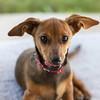 Hershey's kiss (Boomingecho) Tags: hershey kiss hersheykiss dog pup chiweenie rescue puppy