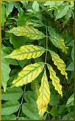 GOLD LEAF ! (Dan B. Pics.) Tags: shrubs wisteria garden plants autumncolour golden
