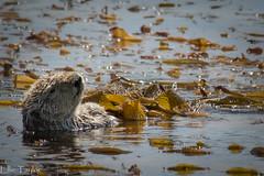 SeaOtter (ellie.taylor30) Tags: california america nikonnaturephotography flickrnature nature