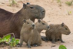 Capybara family (Tim Melling) Tags: hydrochoerus hydrochaeris capybara family triplets brazil pantanal timmelling