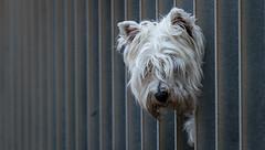 Pop Up ::: 20160814 4822 (Oiluj Samall Zeid) Tags: salinas asturias espaa perro mascota dog pet spain espagne chien
