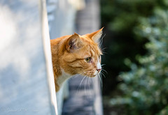 Ginger Profile (Gabriel FW Koch (fb.me/FWKochPhotography on FB)) Tags: gingercat orangecat outdoor outside profile whiskers cat kitten feline animal cute canon 100mm lseries bokeh sun sunlight white eos dof