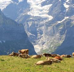 11751429_10206350564716770_4656447672302847453_n (changeyourscreennametopatrick) Tags: switzerland travel trekk hike passport mountains trees cows cheese waterfall wildflower meiringen oberland swiss wanderer