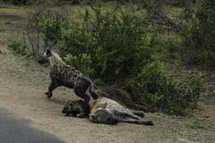 Hyena cup with parents (JK Aachen) Tags: southafrica wildlife krugernationalpark hyenacup nature animalplanet family nikon fx d750 2470 africa together spottedhyena hyena safari predator animal