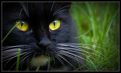 Ten-Ten in Repose (J Michael Hamon) Tags: cat feline pet gato animal outdoor closeup photoborder hamon nikon d3200 nikkor 55300mm vignette portrait
