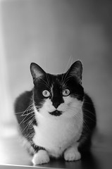 Gleba (Scholt's) Tags: noir blanc black white monochrome chat cat yeux eyes nikon d7000 animal compagnie flin