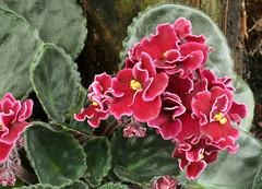 23-IMG_4755 (hemingwayfoto) Tags: berggartenhannover blhen blte blume flora floristik natur topfpflanze usambara usambaraveilchenbobserbin veilchen zierpflanze zuchtform
