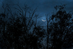 The Old Moon and the Tree (Dawnsview) Tags: oldmoon moon dawn twilight trees crescent sickle arizona blue black dawnsview desert dusk light night k5 sky landscape outdoors morning nature nightsky pentax sonoradesert tucson view visit w