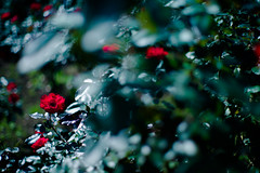 rose (N.sino) Tags: m9 summilux50mm rose