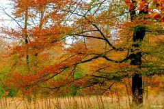 25102016-DSC_0154 (vidjanma) Tags: arbre automne htre couleurs