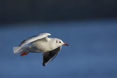 Black-headed Gull (Margaret S.S) Tags: flight seagull blackheaded gull