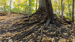 Sherwood tree roots (PJMixer) Tags: 52weekproject nikon toronto fall landscape neighbourhood park roots trees