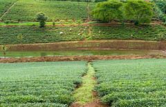 Harvest tea on the green hill (minhty0602) Tags: tea greentea tealeaf tealeaves teatree hilloftea teaproducts teaproduction farmer vietnamesefarmers vietnameseagriculture vietnamesecountryside greenhills pentax pentaxdslr pentaxcamera pentaxk3 sigma sigmalens sigma1750 pentaxflickraward