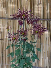 Higo-giku (s.itto) Tags: shinjukugyoen autumn chrysanthemum november morifolium