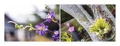 Lady Mauve (red stilletto) Tags: oakdenewinery oceangrove wallington garden garlands angle macro mauve purple colourpalette colourpalettes famousflickrfive bellarinepeninsula