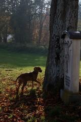 Autumn walk (III) (dididumm) Tags: dog meadow green tree leaf leaves colorful sunshine autumnal autumn fall walk spaziergang herbst herbstlich sonnenschein bunt bltter blatt baum grn wiese hund django