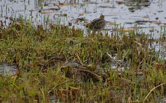 Almost invisible: Snipe at Leighton moss (John D Hardy) Tags: snipe almostinvisible leightonmoss