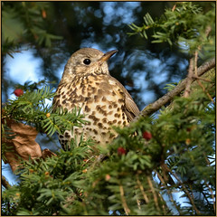 Song Thrush (image 3 of 4) (Full Moon Images) Tags: rspb sandy lodge thelodge wildlife nature reserve bedfordshire yew tree berry bird song thrush
