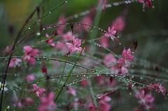 At cold rainy days// En los fros das de llvia (Mireia B. L.) Tags: rainydays water drops llvia rain dasllvia gotas agua flores bokeh helios442 cold fro