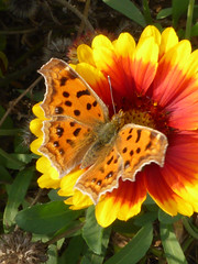 Polygonia c-aureum c-aureum (K. Zyskowski and Y. Bereshpolova) Tags: nymphalidae nymphalinae polygonia caureum asian comma china beijing butterfly lepidoptera