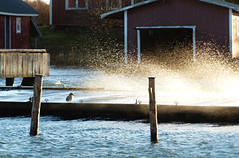 Splash (evisdotter) Tags: splash windy blåsigt jetty brygga sunny light duck gräsand bird fågel
