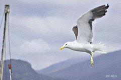 For most gulls it was not flying that matters, but eating. For this gull, though, it was not eating that mattered, but flight.   Richard Bach, Jonathan Livingston Seagull (Maria Luiza S) Tags: seagull gaivota ave pssaro bird bertioga blue sky claud nvem cu azul
