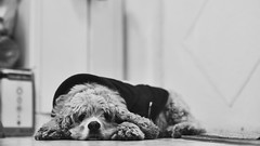 Pipo Boligoma. (Gerardo Nava Fotografa.) Tags: sony alpha a77ii sonyflickraward sonyalpha sonymxico sonya77ii sonyalphamexico sigma sigmaart art 50mm bokeh dog pipo perro can portrait retrato bn black mxico mascota cocker