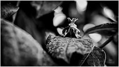 S/W (hanskramhoeller) Tags: frog frosch krone