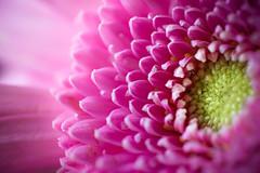 Un peu de rose dans ce monde... (Zeeyolq Photography) Tags: colorful dof fleurs flowers fluo macro nature pink rose milizac bretagne france