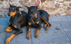 2016 - Mexico - San Luis Potosi - Paw Sets (Ted's photos - Returns late December) Tags: 2016 cropped mexico nikon nikond750 nikonfx sanluispotosi tedmcgrath tedsphotos tedsphotosmexico vignetting dogs two twodogs streetscene street collars snouts dobermanpinschers paws nails longlegs feet