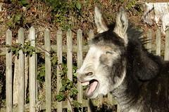 P1180996_v1 (aishe's photography) Tags: donkey ass esel face gesicht portrait sonne sun laugh lachen ghnen