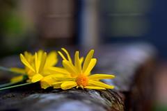 En el muro (PAULAPGS) Tags: yellow amarillo flower bokeh