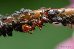Ameise melkt Blattläuse /  Ant milking aphids (Oerliuschi) Tags: ant panasonic milking aphids ameise melken blattläuse pflanzenteil pflanzenstiel olympusm60f28macro lumixgx8