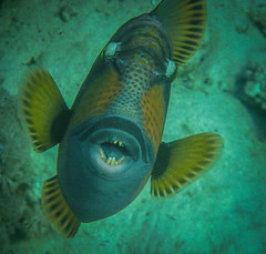 giant triggerfish (arsvivendi65) Tags: redsea diving triggerfish tauchen