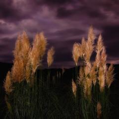 Plumeros de la pampa (Cortaderia selloana) (jfraile (OFF/ON slowly)) Tags: paisajes color landscape flash pals paisaje nubes verano emporda plumeros jfraile javierfraile