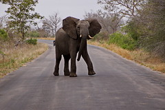 Elefant - Elephant (Magdeburg) Tags: africa park elephant southafrica south national afrika elefant südafrika krugernationalpark krugerpark kruger skukuza süd krugernationalparkskukuza mqumalanga