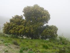 Uralte Steineiche im Morgendunst - Naturpark Sierra Subbetica / Andalusien, NGIDn1117652426 (naturgucker.de) Tags: quercusilex steineiche naturguckerde 1038097865 2140679594 1904118854 cbernhardschöner ngidn1117652426