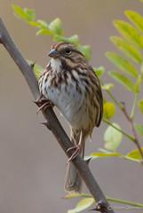 Savannah Sparrow (Passerculus sandwichensis) (Susan Jarnagin) Tags: county bird burlington cove nj sparrow savannah palmyra savannahsparrow passerculussandwichensis palmyracove burlingtoncounty passerculus sandwichensis