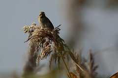 _DSC4767 Rietgors : Bruant des roseaux : Emberiza schoeniclus : Rohrammer : Reed Bunting