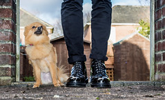 Dogs and boots. (CWhatPhotos) Tags: pictures camera b red portrait pet white cute slr love dogs digital canon pose that photography boot poser pom cool toe foto hole image boots artistic pics dwarf 10 lace dr steel name iii small picture posing canine pic images have photographs chrome cap photograph fotos 5d pomeranian marten which spitz docs laces contain pompom martens grasp dms laced oxblood chromed doig toecap pomeranium zwergspitz cwhatphotos 5diii dwarfspitz littledoglaughedstories affectiondm