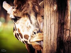 Giraffe (Onkel Hans Foto & Design) Tags: giraffe