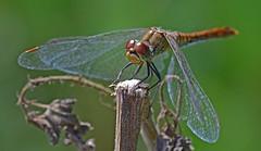 Blutrote Heidelibelle, Sympetrum sanguineum (staretschek) Tags: weibchen heidelibelle sympetrumsanguineum blutroteheidelibelle segellibelle groslibelle