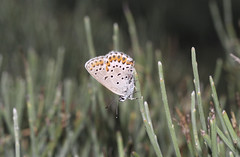 1998_14_07_edited-1 (Clive Webber) Tags: lycaenidae plebejusargus silverstuddedblue mtaigoual polyommatinaeblue