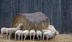 Baa..Baa..Move Over! (sarasonntag) Tags: winter wisconsin sheep outdoor group eat feed hay bale cascade baa