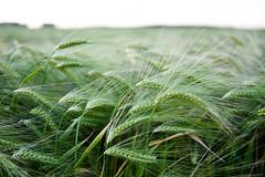Green wheat (Sallin) Tags: plant europa europe belgie familie gras flanders vlaanderen sintpietersleeuw tarwe vlaamsbrabant