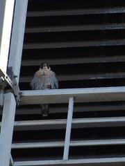 not quite the falcon stare